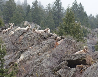 Family of Big Horn Sheep in the Colorado Rockies
