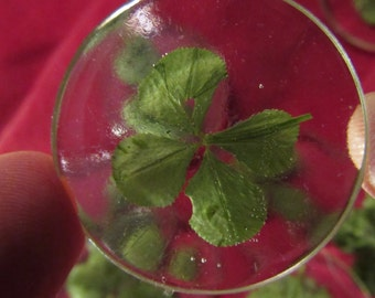 Valentine's day: a real 4-leaf in a Crystal button clover
