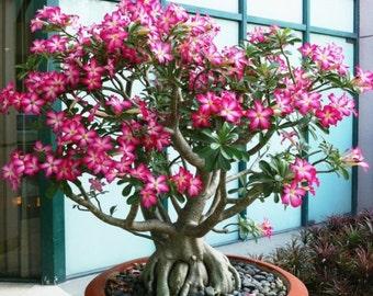 Adenium obesum / Desert Rose / 25 seeds