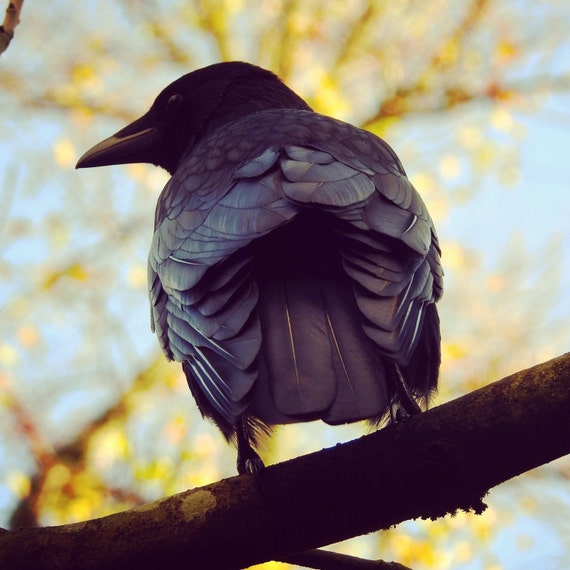 crow in a tree showing amazing feather structure like a robot
