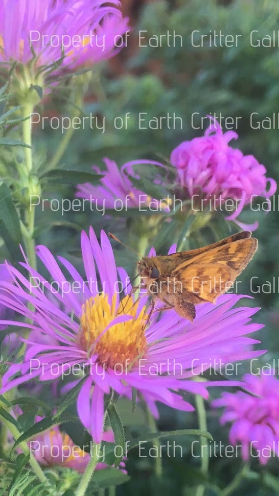 Butterfly and Bee Art Nature Photography, Bee on Purple Aster Framed Photograph Series