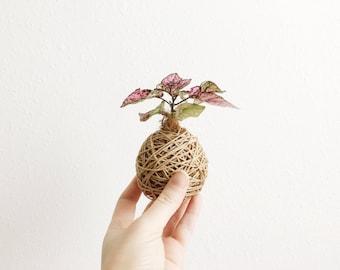 Kokedama - Small Indoor Plant - Polka Dot Plant