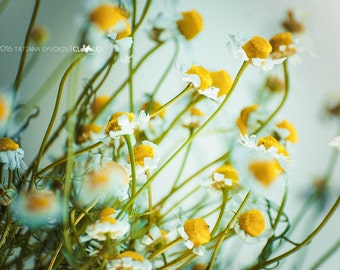 Nature photos Flower photograph Daisy photo download digital White Yellow Green Summer flowers Spring Daisy picture Daisy image Flower image