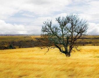 Lone Tree In A Field In Oklahoma