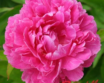 Peony Flower Bulb Variety of Colors ( you choose) Perennials Spring Summer Blooming