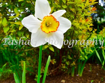White and Yellow Daffodil Flower Nature Photography Print or Canvas