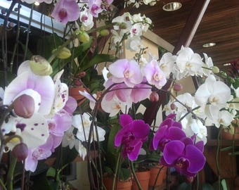 MYSTERY* PHALAENOPSIS Moth Orchids 2 Live Plants