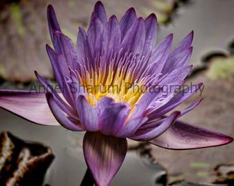 Purple Waterlily Digital Photo-Digital Download-Photography-Photograph-Waterlily-Flower-Purple