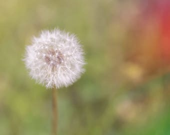 Macro dandelion on green and red background fine art print photograph