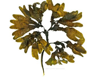 Seaweed (Fucus distichus No.2) - 11 x 14 photograph - beachcombing, beach