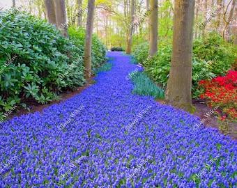 Spring Grape Hyacinth Trail Path Keukenhof Gardens Lisse Holland Netherlands Flowers Dutch Countryside Fine Art Photography Wall Art Photo