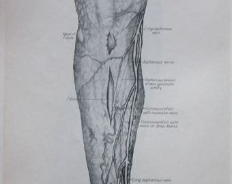1952 Medical Book Page- Human Anatomy- Superficial Fascia, Nerves and Blood Vessels of Front of Left Leg --Medical Print