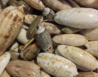 Naturally Wave Sand Polished Olive Olong Spiral Snail Shells Seashells Beach Supply Coastal Decor Jewelry Fillers Mirrors Frames Art Crafts