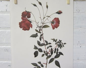 Redoutes Roses Book Page Plate Botanical Wall Art Burgundy Rosa Indica Sertulata Rose