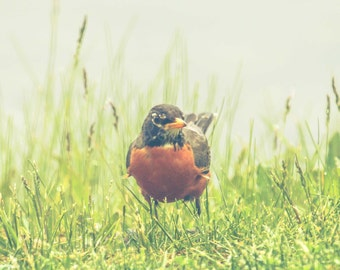American Robin, Bird Photography, Fine Art Print, Nature, Animals, Red Breasted Robin, Green Grass, Wall Art, Home Decor