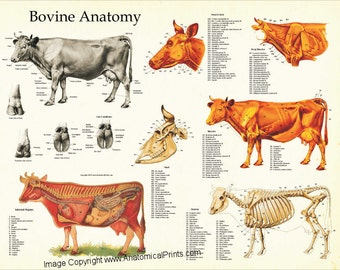 """Cow Anatomy Poster Wall Chart - 18"""" X 24"""""""