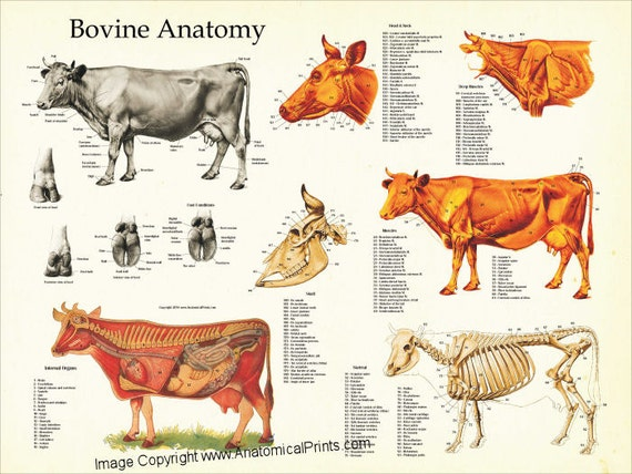 cow internal organs cow anatomy poster wall chart 18 x 24 5206