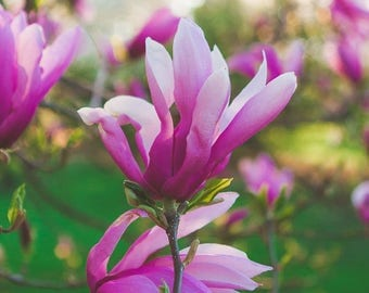 Magnolia Photography Pink Botanical Flower Print Spring Pastel Fine Art Decor Nature Photograph Romantic Elegant Tree Branch Bloom