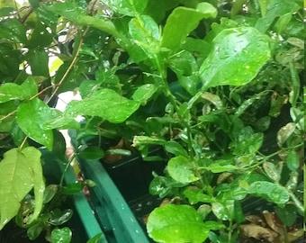 Kaffir lime Mauritius Papeda Trooical Fruit Tree