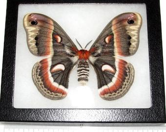 REAL framed cecropia moth saturn moth female USA