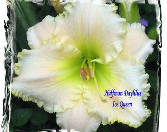 "Daylily, ""Ice Queen"", double fan, perennial"