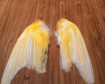 Taxidermy Yellow, White and a tinge of orange and grey/black Canary Wings set7B-craft-crafts-bird-parakeet-feather-feathers