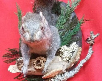 Taxidermy Squirrel front half Mount-Natural-Carpenter bee//bat-rat-mouse-deer