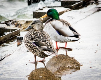 Ducks at Lake Michigan on the Pier in Grand Haven Photo