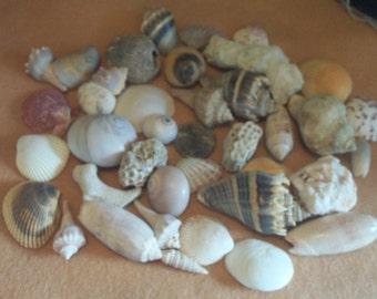 Florida Seashells  1/2 Pound - Includes Some Small Coral