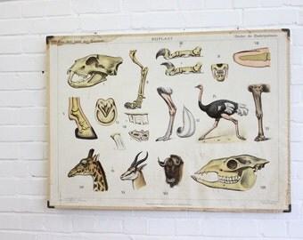 Large Anatomical Chart Of The Giraffe Ostrich and Buffalo Circa 1930's