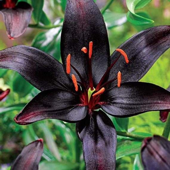Asiatic Lily Bulbs - BLACK WIZARD