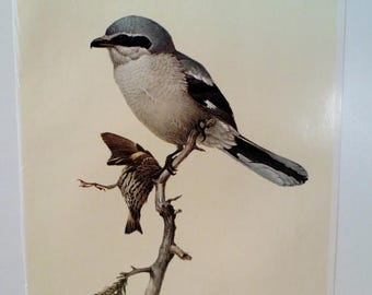 50% Off Estate Sale Vintage Northern Shrike 1960s Frameable Picture, Wall  Art Print of Bird Watercolor by  J.F. Lansdowne Item 421