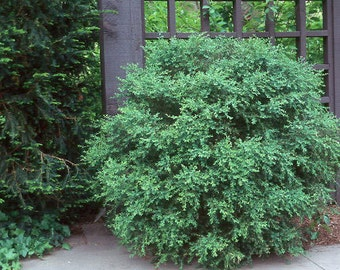 1 Wintergreen Boxwood Plants(Buxus microphylla) Potted