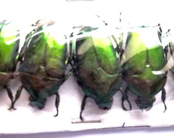 Wholesale 5 x Green Cetonic - Taxidermy - Unmounted - Ready To Rehydrate - Artwork