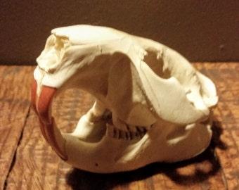 Real Beaver Skull #2