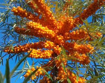 "SEABERRY-Female ""Sunny™"" (Hippophae rhamnoides) Plants"