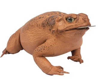 Large Lucky Cane Toad with coin
