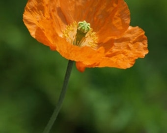 Papaver rupifragum (Spanish Poppy) - 50 seeds. Lovely, easy to grow addition to the perennial border flowering all summer.
