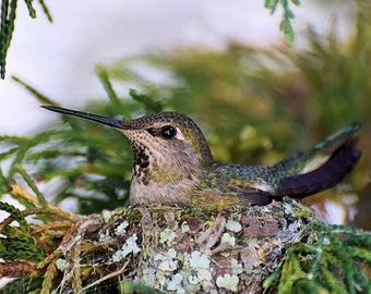 Anna's Hummingbird setting her nest