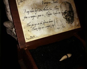 Vampire's tooth in wunderkammer wood box