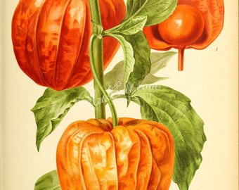 flowers-28486 - physalis francheti alkekengi, bladder cherry, Chinese lantern, Japanese-lantern, strawberry groundcherry or winter cherry
