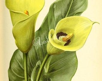 flowers-29497 - richardia lytwichii yellow flower plant botanical digital floral picture illustration clipart printable print paper book jpg