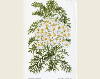 Woman Artist Margaret Stones - Chrysanthemum Ferulaceum - White Chrysanthemum - Curtis Botanical Magazine New Series, Original Vintage Print
