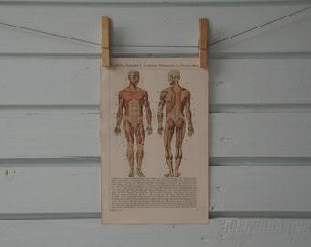 1941 Vintage Human Anatomy Illustration