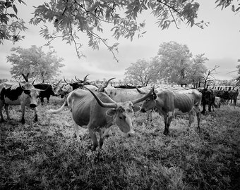 Longhorn Steer Photograph, Texas Cows, 1940s, Black White Photo, Farmhouse Modern Wall Art, Cows, Photography, Country Cabin, Southwest