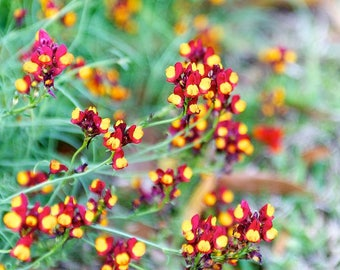 2000 LINARIA SPANISH DANCER Red & Yellow Flower Seeds *Combined S/H