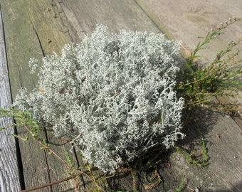 Grey Natural Moss, Dried Forest Lichen, Natural Decor, Forest Craft Supplies