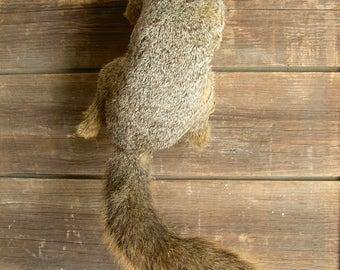 Vintage Full Mount Taxidermy Squirrel