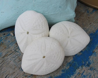 Delicate Collection Egg Shell White Thin Puffer Sea Biscuit Sand Dollars/ Oceans Oddity Seashell Supplies Coastal Decorating Collectible