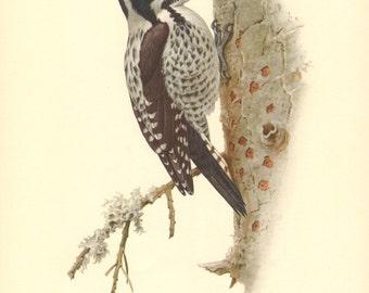 1953 Eurasian Three-toed Woodpecker - Picoides tridactylus alpinus Vintage Offset Lithograph